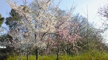 ソメイヨシノとしだれ桜.jpg